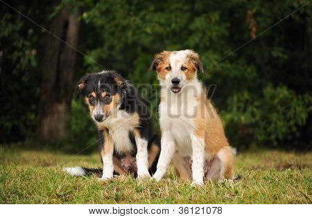 border collie cute puppies