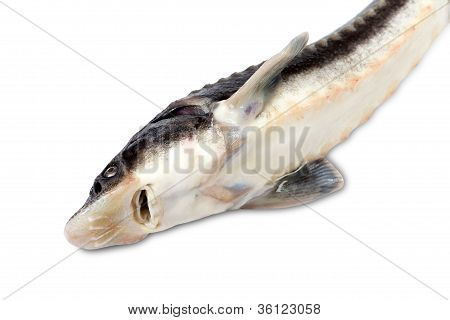Sterlet Fish On White Background