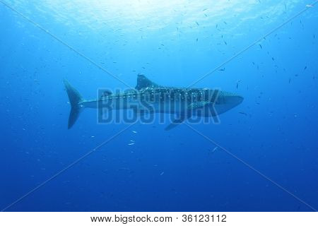 A beautiful whale shark (Rhincodon typus) in the Red Sea