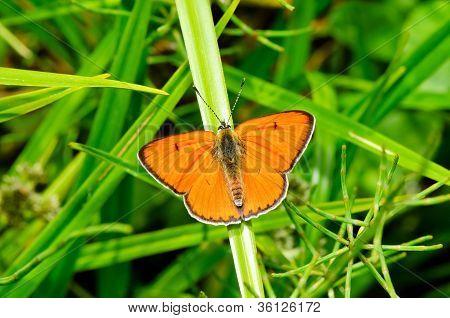 Large copper butterfly (Lycaena dispar)