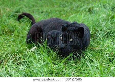 Leopardo negro rececho de hierba larga