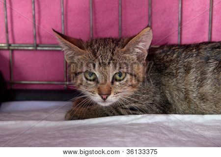 Tabby Kitten Waiting In A Cage