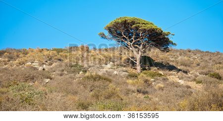 marine pine