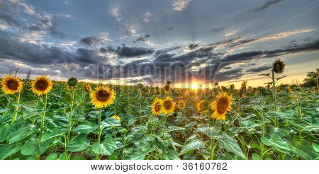 The Landscape Of The Field With Sunflower