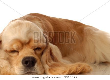 Cocker Spaniel Sleepng