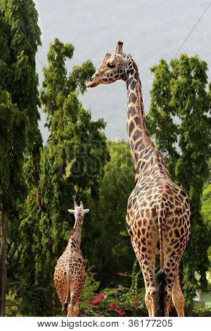Two African Origin Giraffe Standing In An Enclosure At Mysore Zoo In India. They Are Scientifically