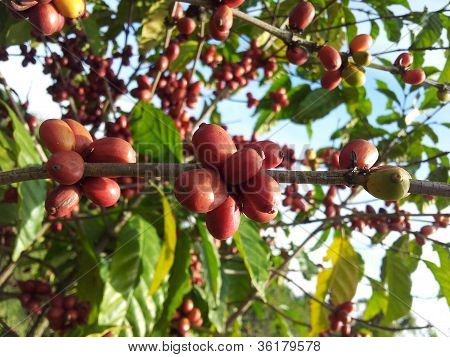 Red and mature coffee fruit on the tree