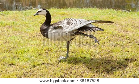 Barnacle Goose Stretching