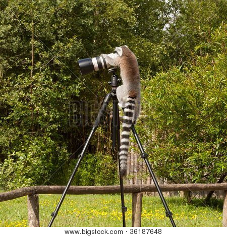 Ring-tailed Lemur Sitting On Tripod