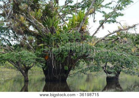 Macrolobium trees