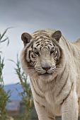 Siberian Tiger Standing And Looking At Camera