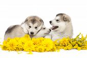 foto of laughable  - One month old alaskan malamute puppies with yellow flowers - JPG