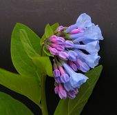 Picture of virginia bluebells.