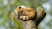 stock photo of coatimundi  - Sleeping coatimundi in a tree  - JPG