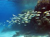 coral reef with shoal of goatfishes
