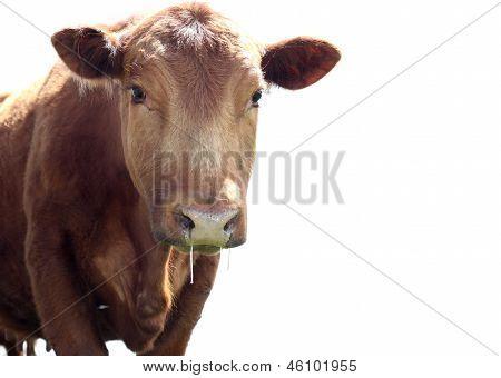 Drooling Heifer