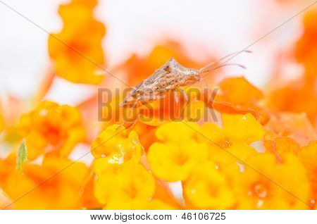 Hemiptera On The Yellow Flower