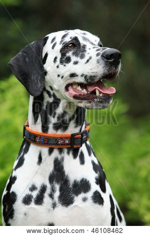 Portrait Of Beautiful Dalmatian Bitch