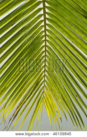 Coconut Leaves