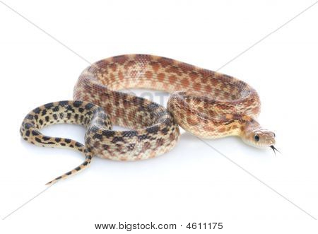 Cape Gopher Snake (pituophis Catenifer Vertibralis)