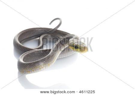 Silver Phase Red-tailed Rat Snake (gonyosoma Oxycephela)