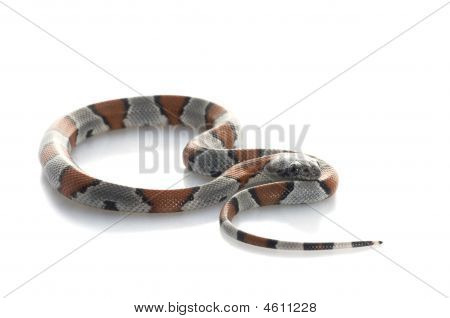 Gray Banded Snake