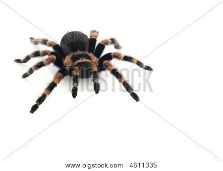 Mexican Red Knee Tarantula (brachypelma Smithi) Female