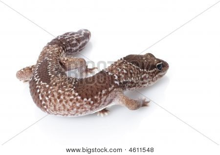 Jungle Male Fattailed Gecko (het. Albino)