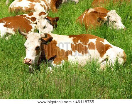 Cow lying down in the green meadow