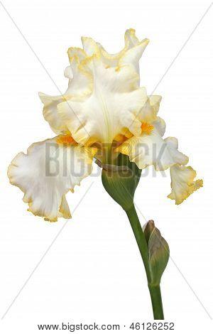 Flor de íris, íris Lat., isolada no fundo branco