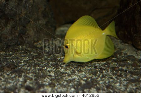 Yellow Sailfin Tang