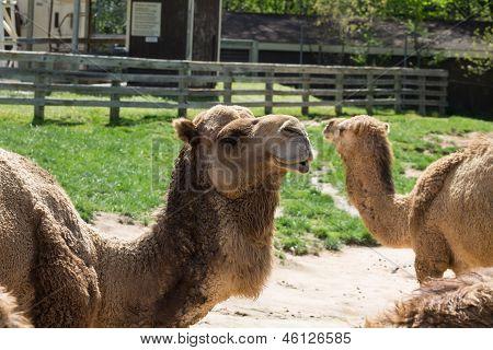Dromedary - Arabian Camel