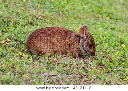 Florida Marsh Hare