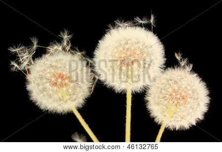 Dandelion and flying seeds on black background