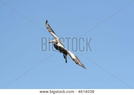 Flying Peruvian Pelican