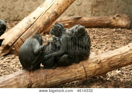 Sulawesi / Celebes Crested Black Macaque