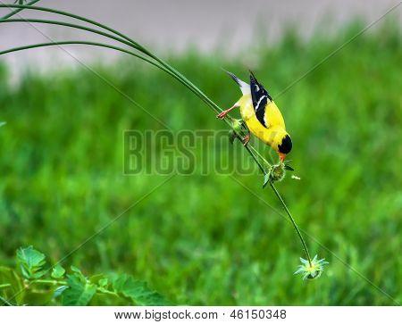 Goldfinch On A Stem In High Dynamic Range