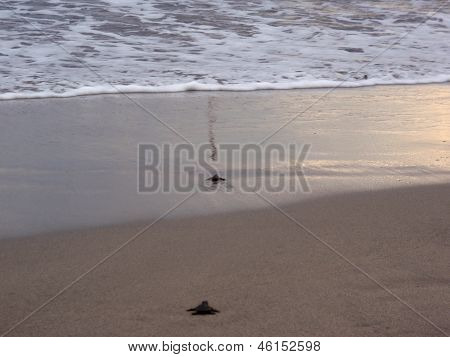 Baby Turtle Walk Through The Sand Towards The Ocean