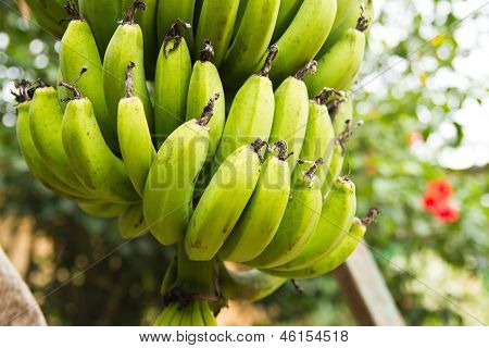 Green Banana Tree
