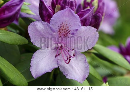 Close up of blossom flower of Rhododendron