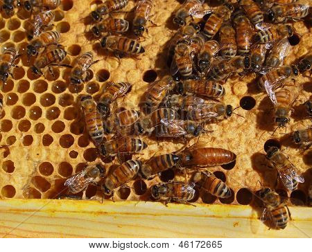 Queen Bee And Workers