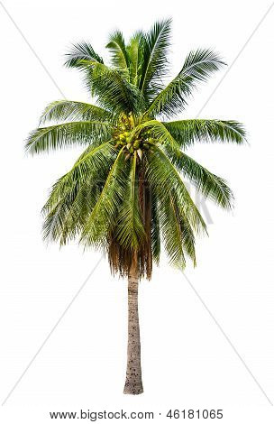 Palm tree in white isolated background