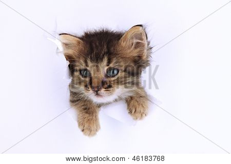 Small kitten in paper side torn hole isolated on white
