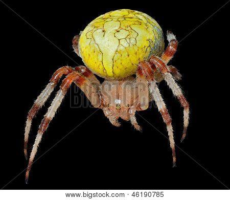 Garden-spider