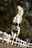pic of lipizzaner  - A beautiful white stallion performing before an audience with all four hooves off the ground - JPG