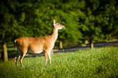 stock photo of black tail deer  - Portrait of pregnant whitetail deer doe - JPG
