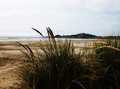 image of dune grass  - Oregon - JPG