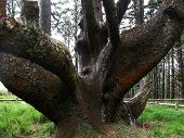 stock photo of mear  - A distorted tree growing near the Cape Meares Lighthouse is known as the Octopus Tree - JPG