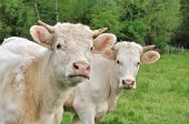 stock photo of charolais  - Young Charolais heifers cows in a meadow - JPG