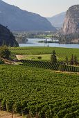 picture of penticton  - Rolling hills of vineyards in front of of Vaseux Lake and the McIntyre Bluffs in the Okanagan Valley - JPG